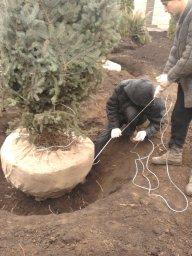 пересадка деревьев